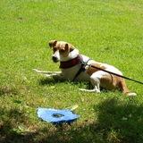 Bella (Parson Russell Terrier)