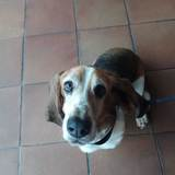Gus (Basset Hound)