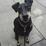 Toby  (Manchester Terrier)