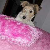 Argi (Fox Terrier De Pelo Duro)