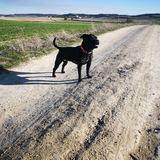 Dolche (Staffordshire Bull Terrier)
