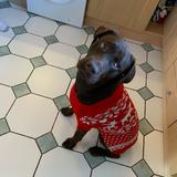 Wesley (Labrador Retriever)