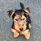 Nacho (Welsh Terrier)