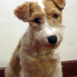 Xana - Fox Terrier
