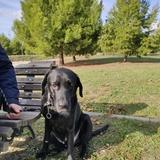 Black - Labrador Retriever