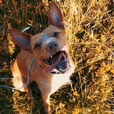 Tommy - Podenco Andaluz