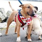 Mr Bully (Bull Terrier)