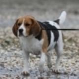 Sandy (Beagle)