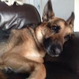 Bailey (German Shepherd Dog)