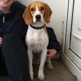 Jack (Beagle)