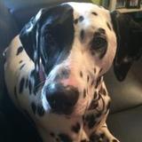 Murphy (Dalmatian)