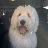 Bob (Old English Sheepdog)