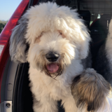 Gus (Old English Sheepdog)