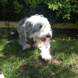 Tia  (Bearded Collie)