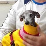 Ziggy (Italian Greyhound)