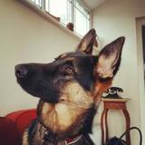 Arya (German Shepherd Dog)