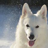 Lucky (Weisser Schweizer Schäferhund)
