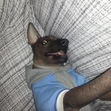 Kobu (Perro sin pelo del Perú)