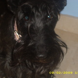 Lisa (Scottish Terrier)