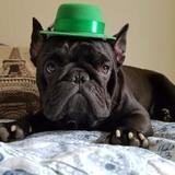 Charlie (French Bulldog)