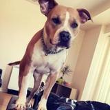 Rea (American Staffordshire Terrier)