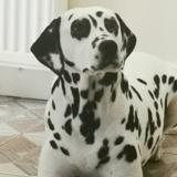 Kaleda (Dalmatian)