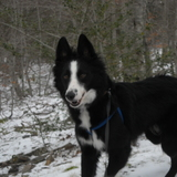 Roma - Border Collie