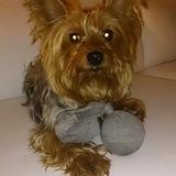 Lucas (Yorkshire Terrier)