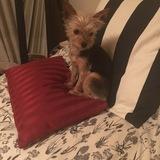 Lola (Yorkshire Terrier)