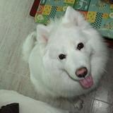 Sasha (Samoyedo)