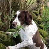 Billy (English Springer Spaniel)