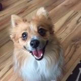 Mia (Pomeranian)