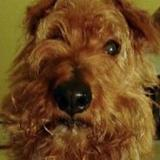 Maggie (Irish Terrier)
