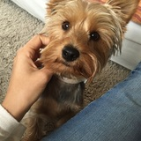Lolo (Yorkshire Terrier)