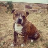 Horus (Staffordshire Bull Terrier)