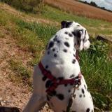 Pingo (Dalmatian)