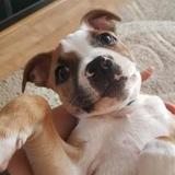 Akia (American Staffordshire Terrier)