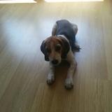 Laya - Beagle