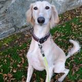 Scotty (Saluki)