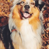 Barney (Australian Shepherd)