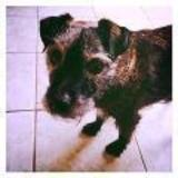 Toby (Lakeland Terrier)