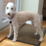 Lexi (Bedlington Terrier)