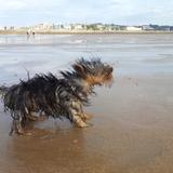 Cuca (Yorkshire Terrier)