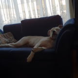 Jake (Bull Terrier)