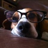 Poppy (Beagle)