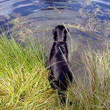 Lewis (Flat Coated Retriever)