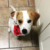 Lexi (Beagle)