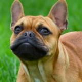 Marnie (French Bulldog)