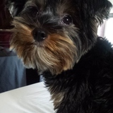 Rumba (Yorkshire Terrier)