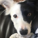 Daisy (Border Collie)
